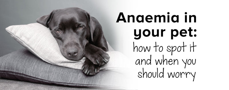 Anaemia in your pet: how to spot it and when you should worry