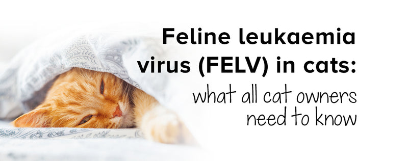 Feline leukaemia virus (FELV) in cats: what all cat owners need to know