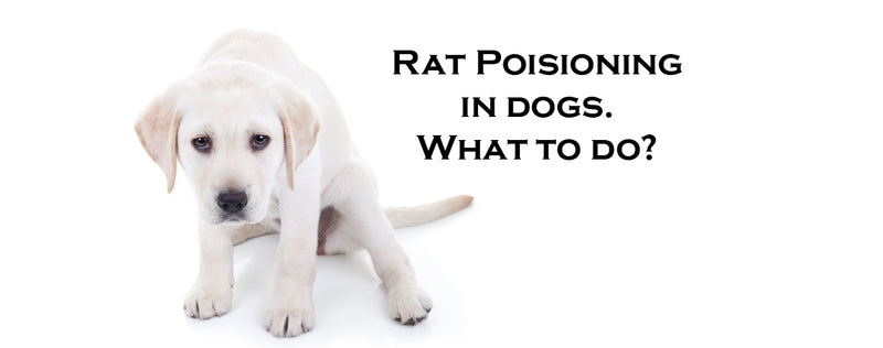 Rat Poison in dogs.Signs, Symptoms & What to do