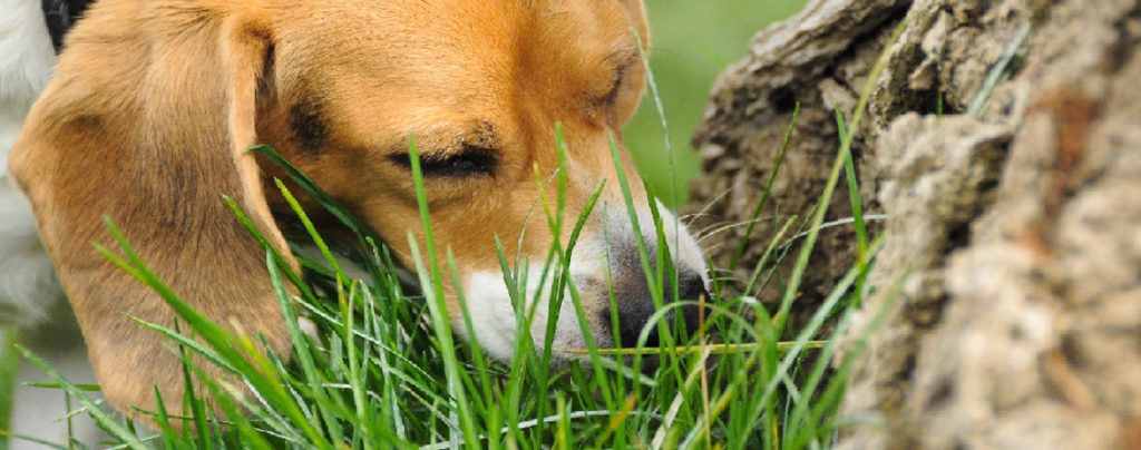 Why  dogs eat grass: Causes, prevention & when to worry