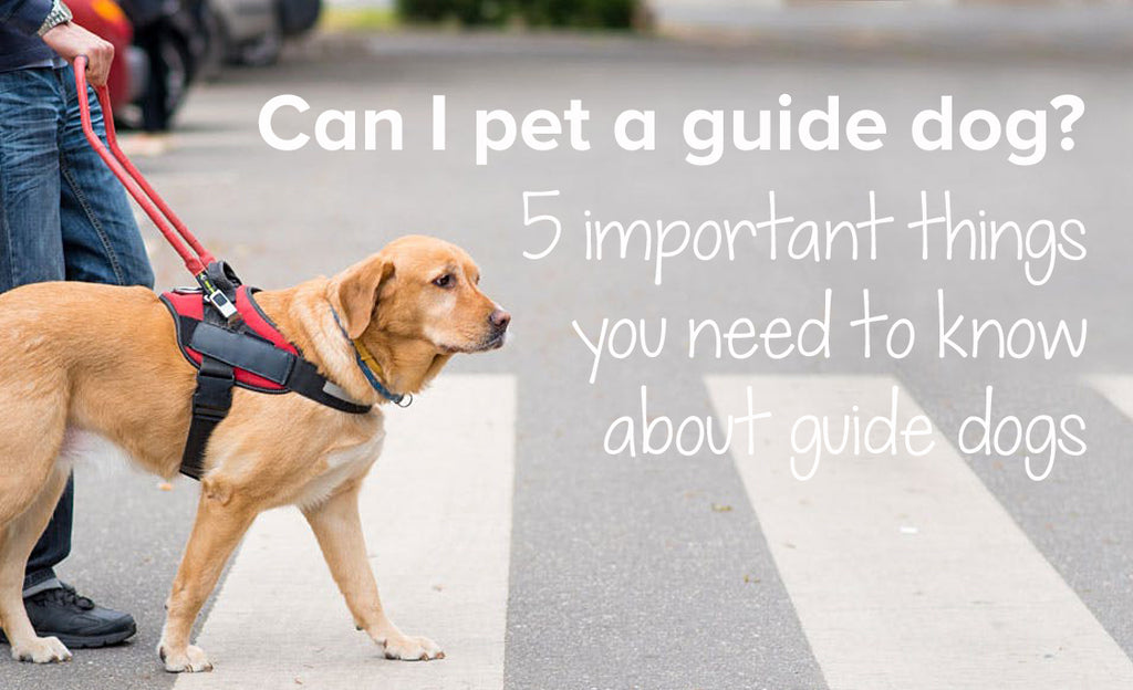 Can I pet a guide dog? 5 important things you need to know about guide dogs
