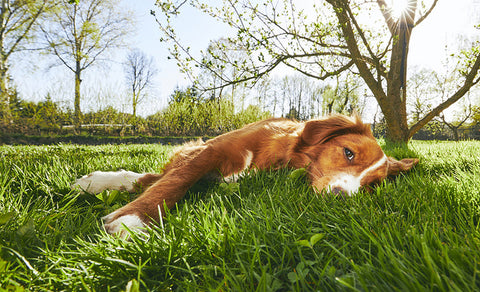 dog_laying_on_grass