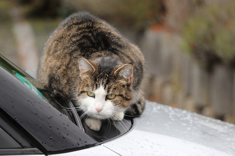 cat_on_hood_of_car