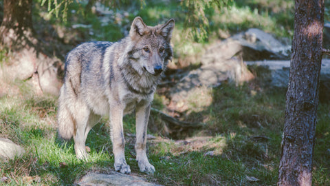 wolf_in_forest