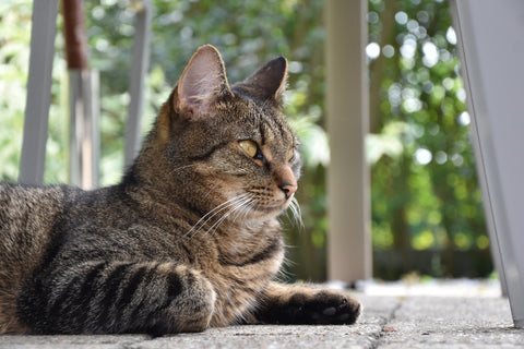 cat_staring_infront_of_him_on_wooden_patio