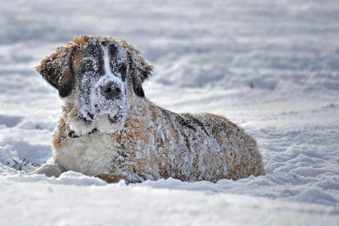 dog_covered_in_snow