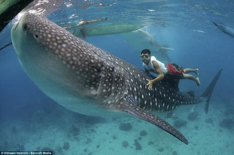 Man riding a whale shark in Oslob, Phillippines