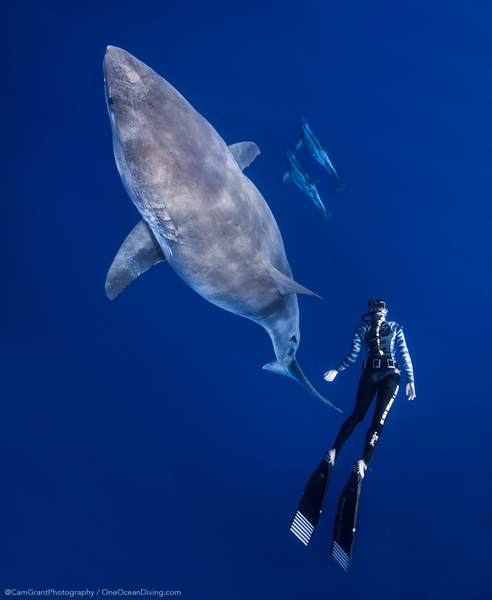 Kayleigh Grant swims with a Great White Shark in Hawaii