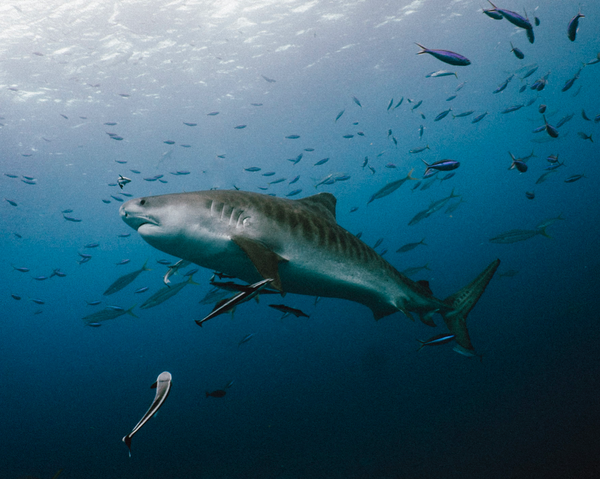 Diving with Tiger Shark in Protea Banks, South Africa