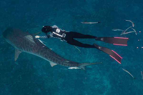 Diving with tiger sharks in Hawaii