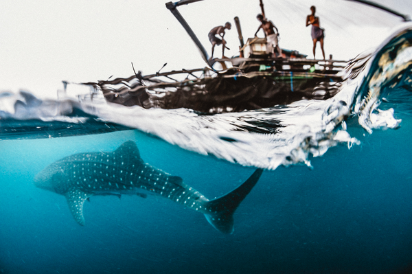 Whaleshark and fishing began in cenderwasih bay, Papua