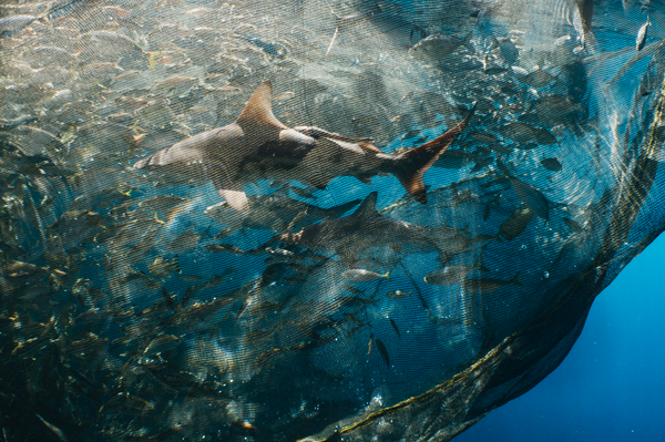 Sharks trapped in a fishing net in Cenderwasih Bay, Papua