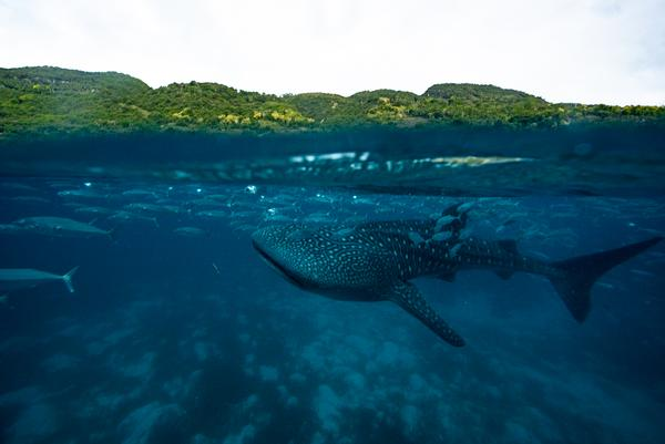 Baby whaleshark in the Philippines