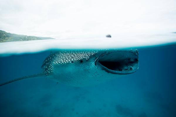 Diving with whale shark