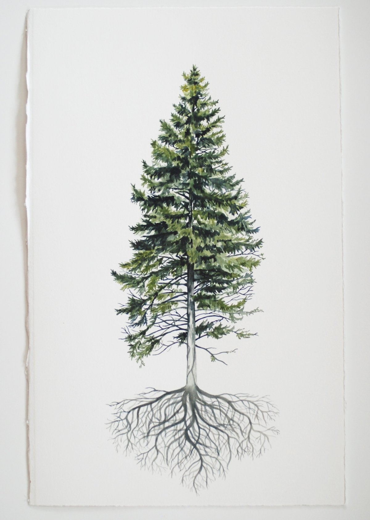 Rooted Pine - watercolor painting - Everhard Designs Nature Art