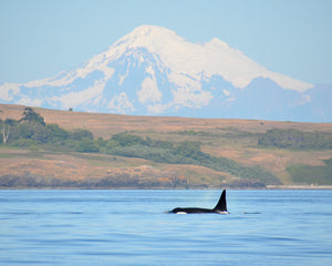 An orca breaches the surface with its dorsal fin near the San Juan islands.
