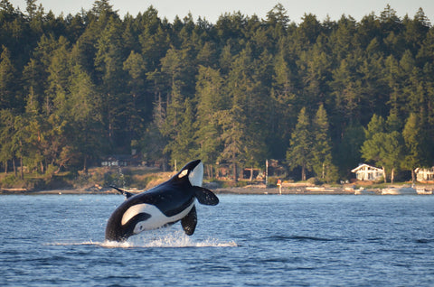 An orca breaches near the San Juan Islands.