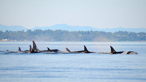 A pod of San Juan Island orcas swim in the ocean.