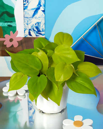 Neon Philodendron - 4 inch