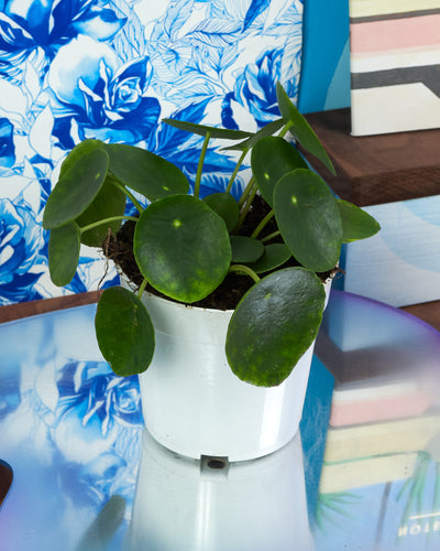 Pilea Peperomioides - 4 inch
