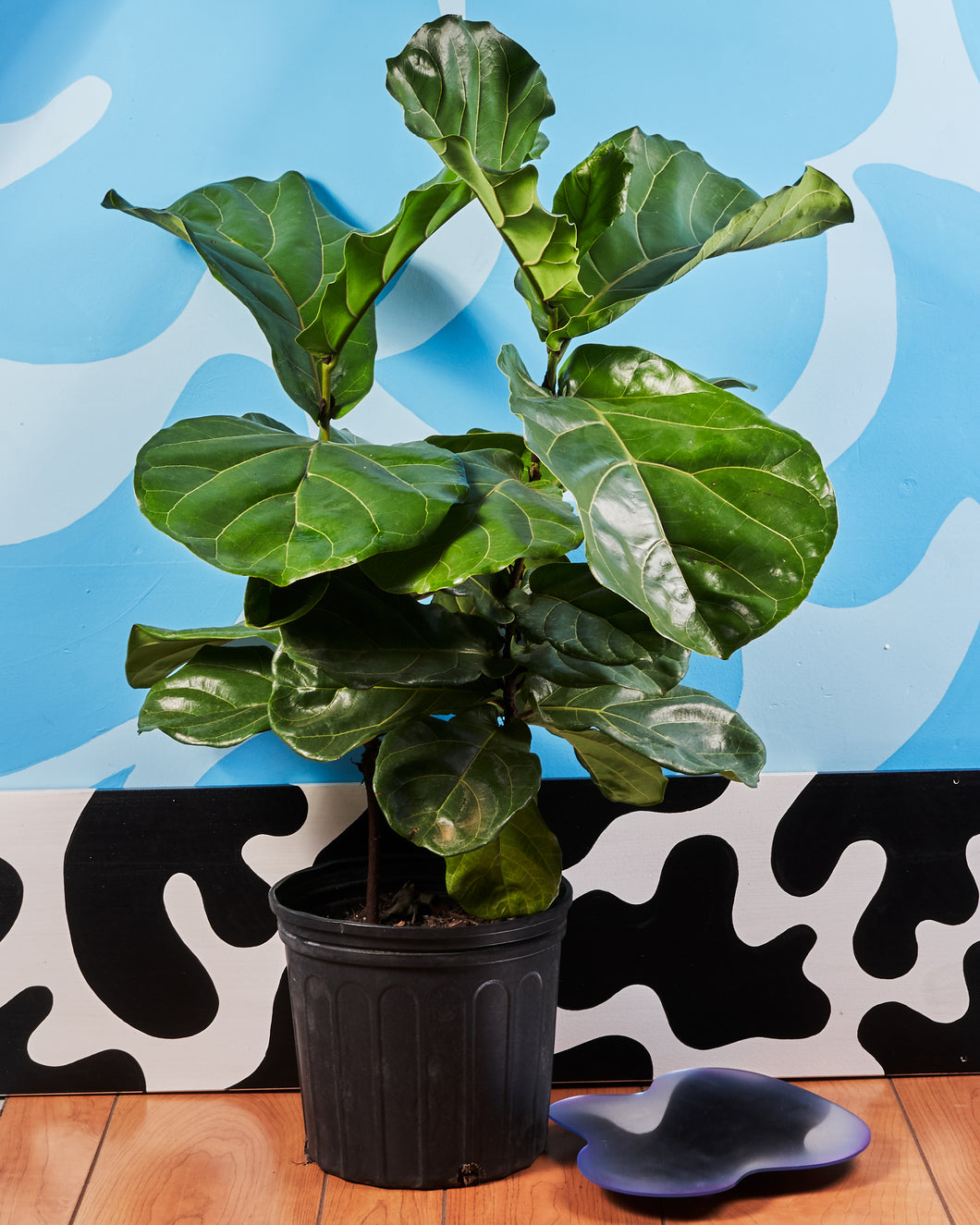 Fiddle Fig - 10 inch