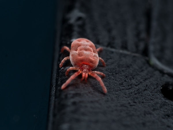 How To Tackle Red Spider Mite's In The Greenhouse