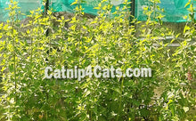 GROW YOUR OWN CATNIP KIT SEEDS  NEPETA CATARIA CAT MINT CAT GRASS #CATNIP #CATS