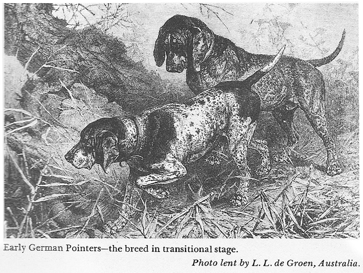 German Shorthaired Pointer History