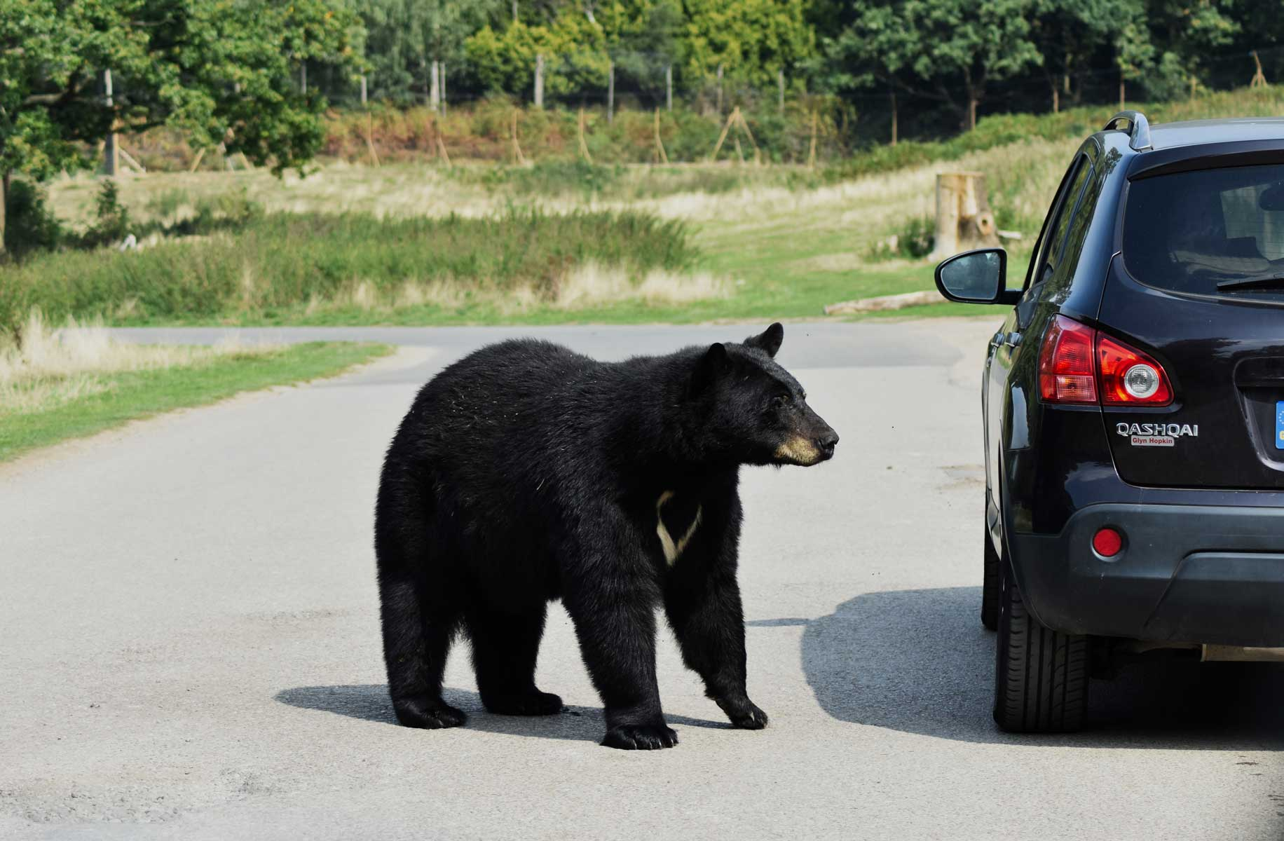 Black bear approaches a car on the road