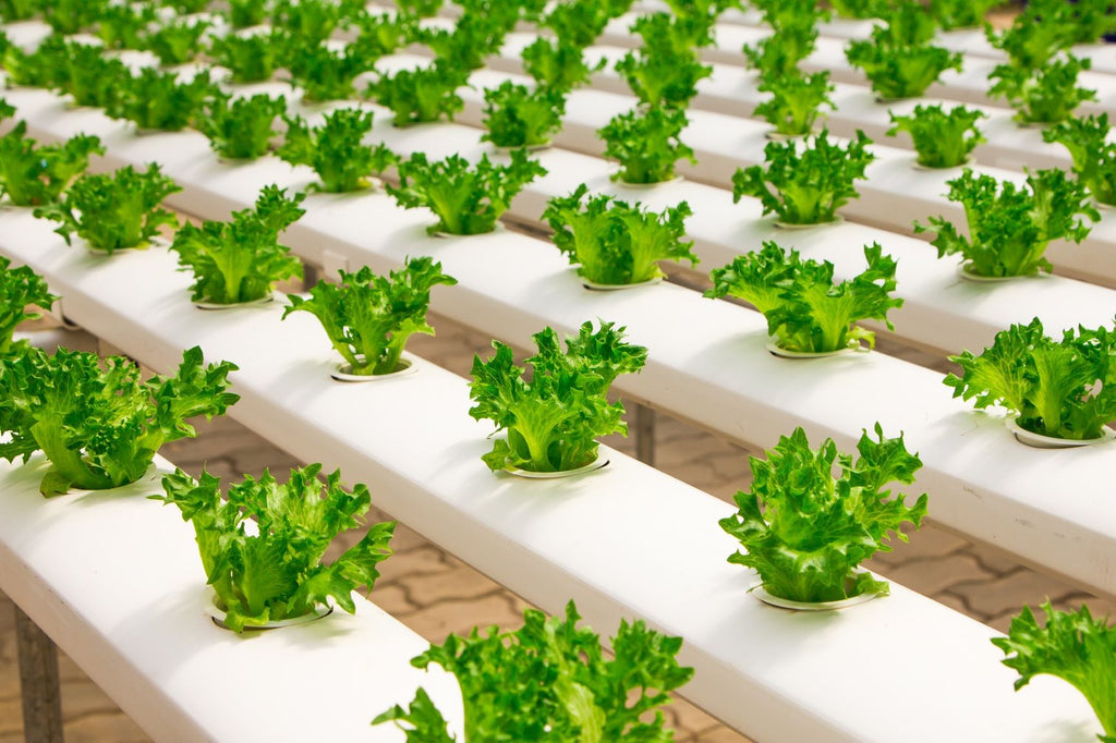 hydroponic plant rows