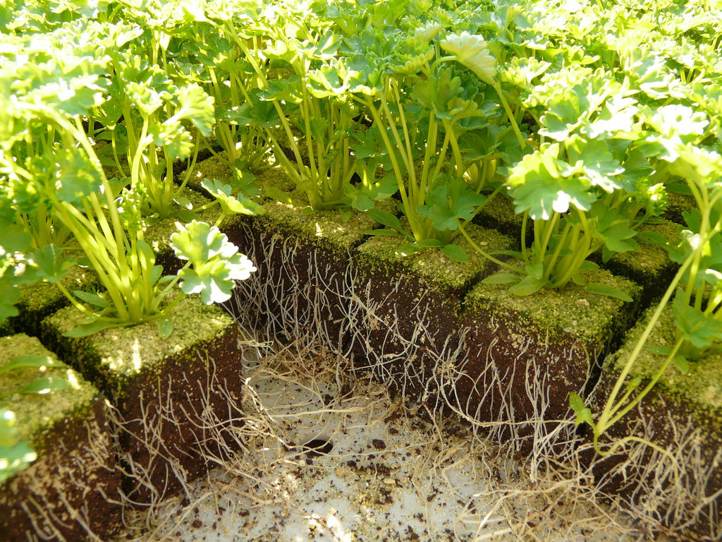 established plants healthy roots