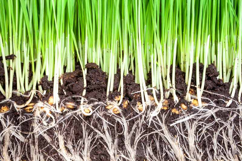 healthy roots in rich composted soil