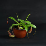 Nepenthes - Monkey Cup Plant