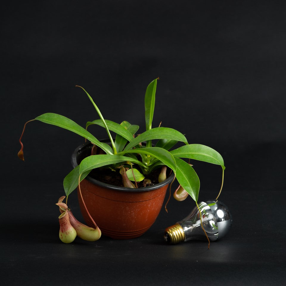 Carnivorous Nepenthes 'pitcher plant' for sale near Downtown Phoenix arizona