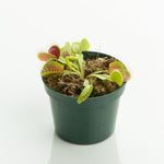 'Venus Flytrap' - Dionaea muscipula (Doesn't ship until 5/10)