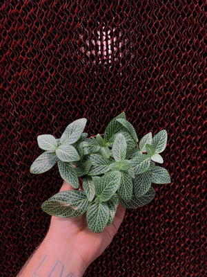 Fittonia sp. 'Nerve Plant' 4""