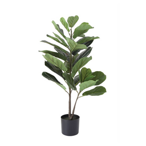 Fiddle Fig Leaf Plant