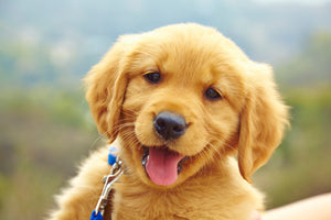 Some Tips When Considering a Puppy