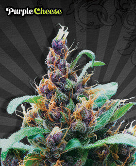 Purple Stilton Automatic