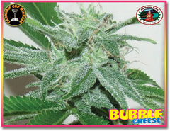 Bubble Cheese