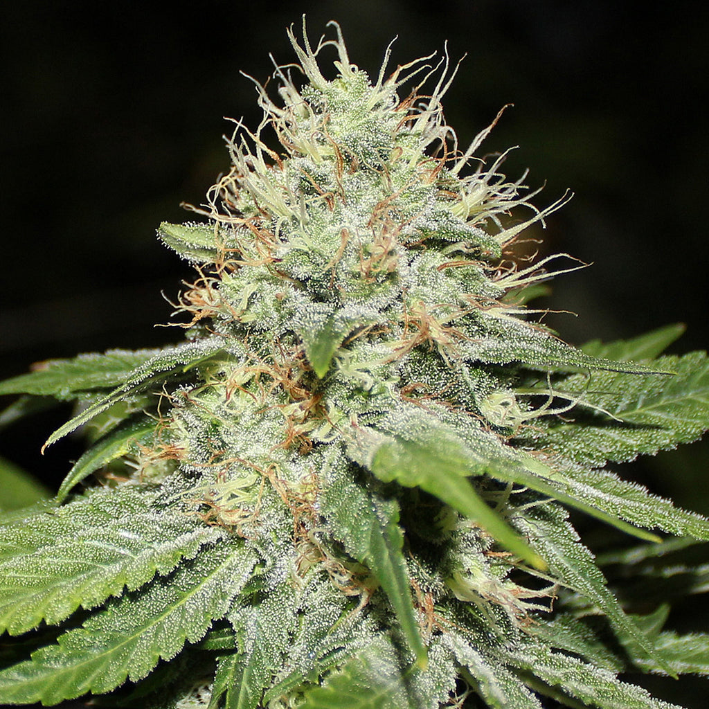 Sweet 'n' Sour Indoor