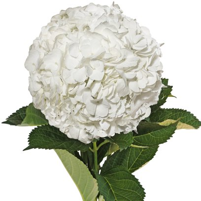 Bouquet d'Hortensias Blanches
