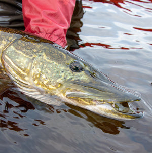 Chasing the Monster Pike