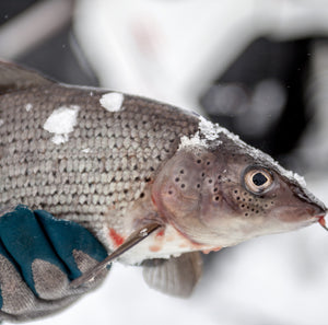 Pike and grayling icefishing - 3 days