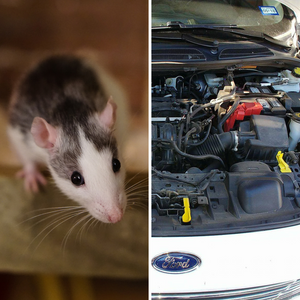 Why Rats Chew Wires – Dornak Auto Parts