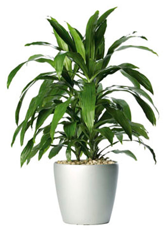 Dracaena Species on white background