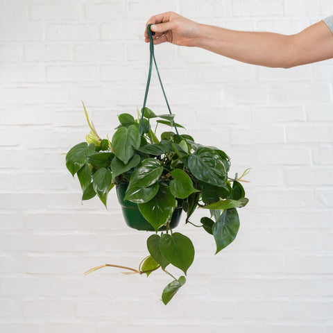 Heartless Philodendron being held by hand