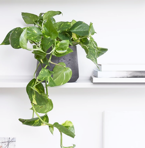 Golden Pothos on a shelf