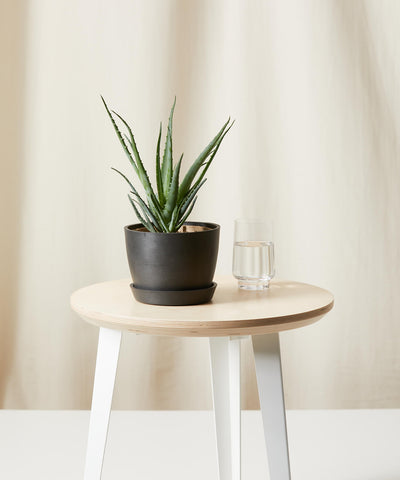Hedgehog aloe on a table