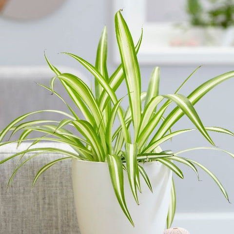 Spider plant in living room